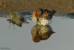 Western Sandpiper (ctadventures2005) Tags: nature birds spring sandpipers 3crabs may 2017 westernsandpiper