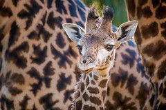 Little Giant (helenehoffman) Tags: kenya conservationstatusvulnerable calf giraffacamelopardalistippelskirchi sandiegozoo tanzania kilimanjarogiraffe masaigiraffe giraffe mammal animal