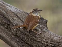 Carolina Wren (AllHarts) Tags: carolinawren backyardbirds memphistn passionforbirds naturescarousel ngc npc