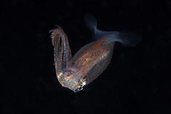 Watasenia scintillans(Firrfly Squid)螢火魷 (Allen Lee(houpc)) Tags: 2018 nikon nikond810 60mm kenting blackwater squid nightdive 合界