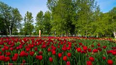 Ottawa Tulip Festival 2013 (jkowalski2) Tags: closeup day events flowers imagetype landscape landscapes macro nature outdoor photospecs seasons spring stockcategories time tulipfestival ottawa ontario canada