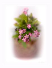 Pink (Krasne oci) Tags: flower flowerart macro macrophotography evabartos nature gardening orchid violet forgetmenot artphotography photographicart