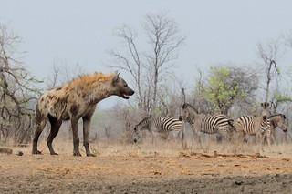 Zimbabwe Cape Buffalo Hunt 96
