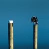 Little shag (Pol/S) Tags: little shag phalacrocorax melanoleucos
