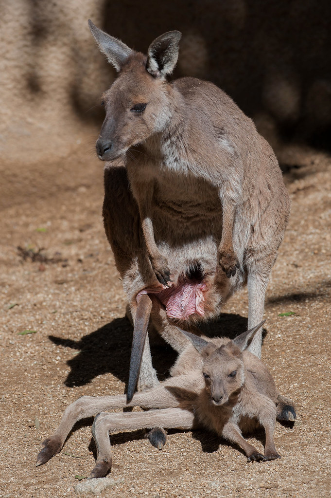 The World's Best Photos of joey and pouch - Flickr Hive Mind