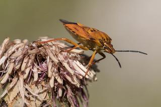 Shield Bug (Carpocaris pudicus)