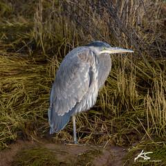 _DSC6342.jpg (kasperisummanen) Tags: birds nisquallynationalwildliferefuge wa pnw wildlife