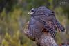 Ocultando la presa. (Lagier01) Tags: aves azor birds fauna hidelosaltillo nature wildlife pájaro rapaces