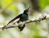 IMG_6410 Tourmaline Sunangel (suebmtl) Tags: guangolodge papallacta napoprovince ecuador bird birding hummingbird tourmalinesunangel male heliangelusexortis