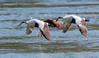 Common Eiders (Vic Zigmont) Tags: commoneider birdinflight duck