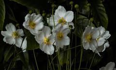 jdy263bloGBPenzanceTrengwaintoneloXX20110920a9767-2.jpg (rachelgreenbelt) Tags: anemonefallwhite eudicots england colorswhiteyellowgreen orderranunculales coloryellow anemonefall familyranunculaceae penzance cornwall uk europe greatbritain magnoliophyta unitedkingdom floweringplants ranunculaceae ranunculaceaefamily ranunculales ranunculalesorder spermatophytes anemonegenus