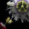 Passion Flowers (Pixel Fusion) Tags: passion flower flora nature macro nikon d7000