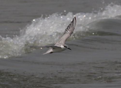 Little Tern @ Hua Hin