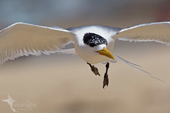 Crested Tern (VS Images) Tags: crestedtern terns laridae thalasseusbergii birds bird birding bif birdsinflight flight feathers wildlife wildlifephotography animals avian australianbirds australianwildlife australia nsw nature ngc naturephotography vsimages vassmilevski olympus olympusau getolympus m43