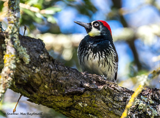 Red Headed Wood Pecker W Whiskers (1 of 1)