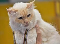 gatti.agr18 (2) (Guido.C.) Tags: gatti cat
