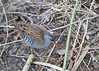 Water Rail DSC_3109 (wildlifelynn) Tags: waterrail rallusaquaticus attenborough nottinghamshire bird rail fairlycommon widespread urban rural coastallagoonsmarshes inland wetlands slowmovingwater stillwater reedbeds phragmites tallvegetation wellvegetatedponds ditches dykes residentpopulation wintervisitor overwinters sexessimilar richbrownbackwings blackstreaksbackwings slategreybluefacebreast barredflanks bwbarring whiteundertail shortcockedtail oftenflickstail longredbeak slightlydowncurvedbeak redeyes fleshbrownlegstoes longtoes laterallycompactbody highsteppinggait runs swims weakflight omnivorous varieddiet aquaticinsects leeches worms smallfish spiders smallmammals carrion seeds shoots monogamous 12broodsannually shysecretiveskulking loudsquealingcalls winter oldgravelpits solitary active lookingforfood drainagechannel