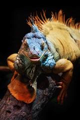 United Colors (Nikonphotography D750) Tags: sonyphotography sonyalpha e1670mmf4zaoss ilce6500 sonyalpha6500 bremerhaven zooammeer zoo atthezoo wildlife echse leguan iguana commoniguana lizard