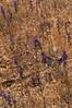 Delphinium, San Luis Obispo Co, CA (RonParsonsflowershots) Tags: ca delphinium sanluisobispoco