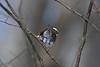 White-throated Sparrow (Salford Twp.) (stinkenroboter) Tags: salfordtownship bird whitethroatedsparrow zonotrichiaalbicollis