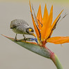 noisy miner in the bird of paradise (Fat Burns ☮ (on/off)) Tags: noisyminer manorinamelanocephala bird australianbird fauna australianfauna feathers minerbird mickybird nikond800 nikon8004000mmf4556