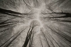 Looking up (Bieomax) Tags: looking up look tree winter mist foliage branch veins roots grey cold fog patterns eye samyang rokinon vivitar 13mm 14mm 28 manual focus sony a7 laea4 forest wood copse