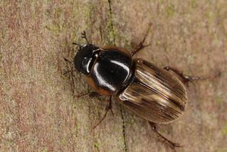 Insecte coléoptère scarabaéide, aphodiné, du genre Melinopterus (?)