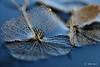 Floating memories (Greet N.) Tags: hydrangeaserratabluebird remains plant water pond floating blue macro