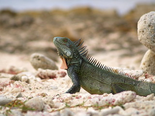 Iguana at the beach of 1000-steps
