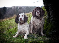 Sheltering (Missy Jussy) Tags: trees field hillside grass dogwalk dogs dogportrait animal wetdog englishspringer springerspaniel spaniel pets hailstone sleet canon canon5dmarkll 50mm ef50mmf18ll canon50mm fantastic50mm outdoor outside rochdale ogden