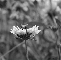 Singled Out (John Neziol) Tags: jrneziolphotography portrait nikon nikoncamera nature nikondslr nikond80 bee naturallight pollen bokeh brantford beautiful bright blackwhite monochrome closeup flower garden bumblebee bug insect macro