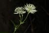 Astrantia major, la grande astrance. (chug14) Tags: nature macro unlimitedphotos flower fleur plantae plante apiaceae ombellifères umbelliferae grandeastrance granderadiaire sanicledemontagne astrantiasaniculifolia astrantiaelatior astrantiamontana astrantiamajor