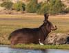 20170725-170206-00591B-co (hugoholunder) Tags: okovangodelta afrika botswana flickr hippo