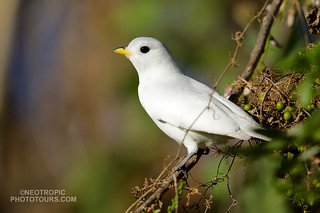 Yellow-billed Cotinga (Carpodectes antoniae)
