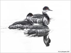 Eared Grebe Threesome (pandatub) Tags: bird birds shoreline mountainview grebe eared