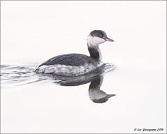 Horned Grebe (pandatub) Tags: bird birds shoreline mountainview grebe hornedgrebe