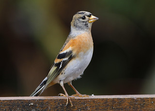 BRAMBLING....Powys....The day before it rained..Look on large   Taken through window..