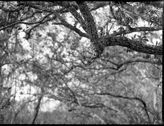 looking up, branches, florida oak trees, backlit,  Atlantic Center for the Arts, New Smyrna Beach, FL, Mamiya 645 Pro, mamiya sekor 80mm f-2.8, Arista.Edu 200, Moersch Eco Film Developer, late January 2018 (steve aimone) Tags: lookingup trees branches floridaoak backlit atlanticcenterforthearts newsmyrnabeach florida mamiya645pro mamiyasekor80mmf28 mamiyaprime primelens blackandwhite monochrome monochromatic mediumformat 120 film 120film landscape
