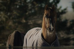 Curieux (granule19) Tags: cheval horse winter hiver