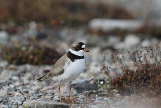 Adult Semipalmated Plover found standing on rocky arctic tundra