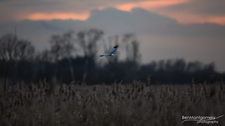 The Ghost and The Darkness - Hen Harrier at Wicken Fen