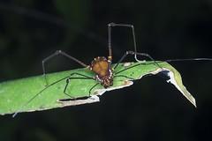 Opiliones (S_Crews) Tags: colombia fieldwork lloró chocó arthropod arachnid opiliones