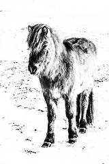 iceland-horses-single-1-Edit (berkeleyhomes-dot-com) Tags: copyright2018iraserkes westernregion iceland is