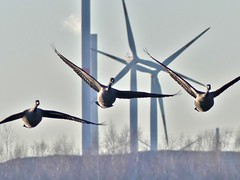 Dilemma (BrigitteE1) Tags: geese gänse windkraftanlagen windpowerplant vögel birds dilemma natur industrie nature industry specanimal
