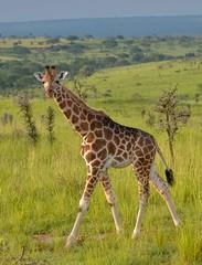 Young Giraffe (Rod Waddington) Tags: africa african afrique afrika uganda ugandan giraffe young qe2 national park landscape wild animal wildlife nature trees outdoor
