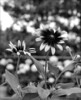 Beautiful Bokeh (John Neziol) Tags: jrneziolphotography portrait brantford beautiful bright bokeh blackwhite nikon monochrome nikoncamera nikondslr nature flower naturallight nikond80 blackeyedsusan garden leaves outdoor closeup flowerpetals