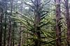 Fuzzy tree (rozoneill) Tags: cape mountain berry creek siuslaw national forest hiking oregon florence princess tasha scurvy ridge trail nelson coastal