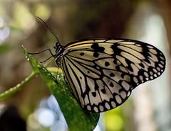 Butterfly. (ost_jean) Tags: butterfly ostjean nikon d5200 350 mm f18 vlinders papillons nature bokeh