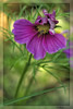 Die Kosmeen (Heinze Detlef) Tags: blume pflanze cosmos kosmos mexiko blüte blütenblätter stengel