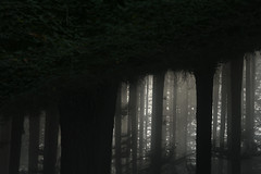 Mt Tabor (Tony Pulokas) Tags: mounttabor mttabor mounttaborpark portland oregon winter fog tree forest douglasfir tilt blur blackberry photoshop